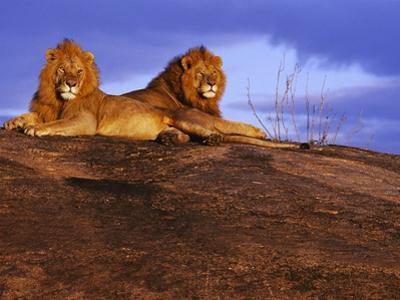 Pair of Male African Lions at Dawn by Joe McDonald