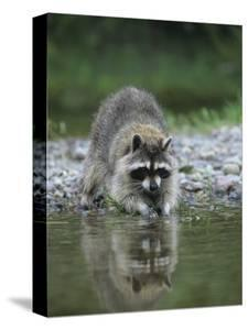 Beautiful Raccoon Canvas Artwork For Sale Posters And Prints Artcom