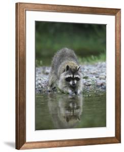 Raccoon Washing its Hands and Food, Procyon Lotor, North America by Joe McDonald