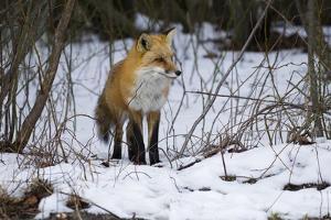 Red Fox Foraging by Joe McDonald