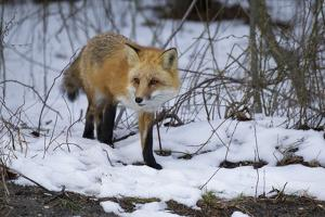 Red Fox by Joe McDonald