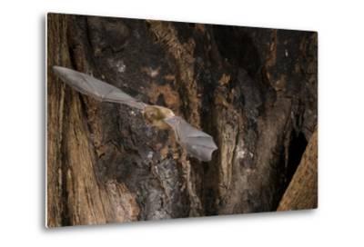 Red Leaf-Nosed Bat