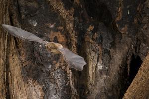 Red Leaf-Nosed Bat by Joe McDonald
