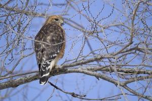 Red-Shouldered Hawk by Joe McDonald