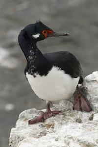 Rock Cormorant by Joe McDonald