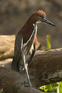 Rufescent Tiger Heron by Joe McDonald