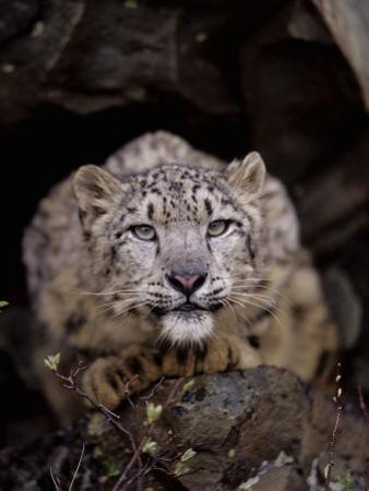 Snow Leopard, Panthera Uncia, an Endangered Species, Asia by Joe McDonald
