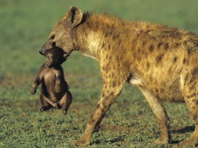 Spotted Hyena, Crocuta Crocuta, Mother Carrying a Cub in its Mouth, East Africa by Joe McDonald