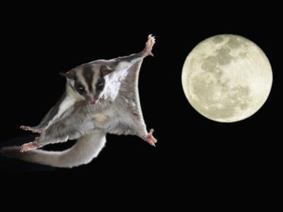 Sugar Glider, Petaurus Breviceps, Marsupial Mammal Gliding Through the Night Sky, Australia by Joe McDonald