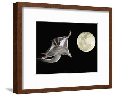 Sugar Glider, Petaurus Breviceps, Marsupial Mammal Gliding Through the Night Sky, Australia