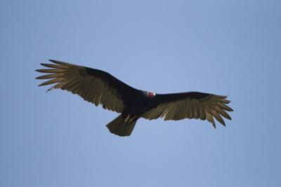 Turkey Vulture by Joe McDonald