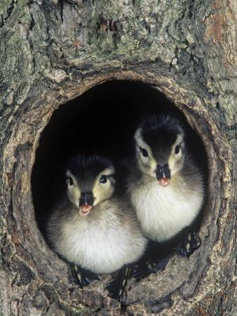 Two Wood Duck Young Peering from their Nest Hole in a Tree, Aix Sponsa, North America by Joe McDonald