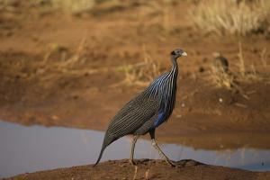 Vulturine Guineafowl by Joe McDonald