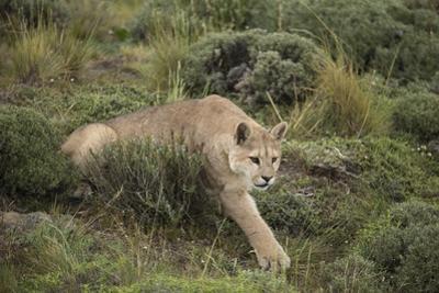 Wild Puma in Chile by Joe McDonald