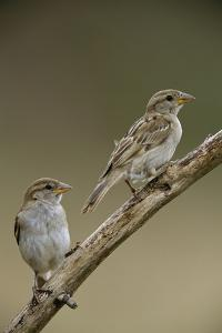 A Pair of House Sparrows Perch on a Tree Branch by Joe Petersburger