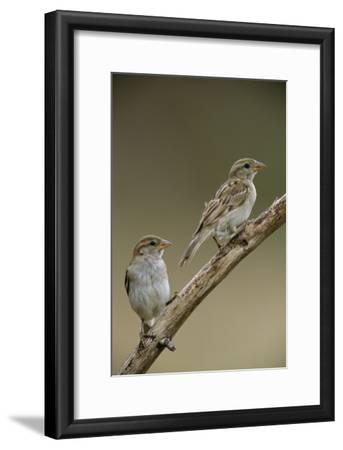 A Pair of House Sparrows Perch on a Tree Branch