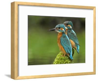 Adult Common Kingfisher Couple, Alcedo Atthis, on a Mossy Branch