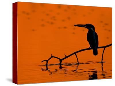 Adult Male Common Kingfisher, Alcedo Atthis, Holding a Fish at Sunset