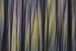 An Abstract View of a European Beech, Fagus Sylvatica, Forest by Joe Petersburger