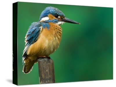 An Adult Male Common Kingfisher, Alcedo Atthis, Perches on a Branch