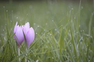 An Autumn Crocus Flower, Colchicum Autumnale, or Meadow Saffron or Naked Lady, in Dewy Grass by Joe Petersburger