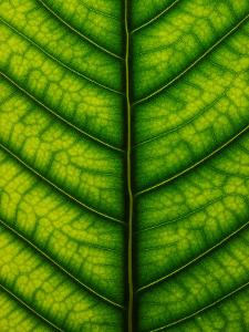 Backlit Close-up of a Fig Leaf, Ficus Species by Joe Petersburger