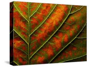 Backlit, Close-up of a Smoke Tree Leaf, Cotinus Coggygria by Joe Petersburger