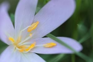 Close Up an Autumn Crocus Flower, Colchicum Autumnale, or Meadow Saffron or Naked Lady by Joe Petersburger