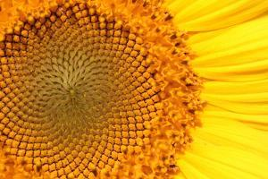 Close Up of a Brilliantly Colored Sunflower, Helianthus Annuus by Joe Petersburger