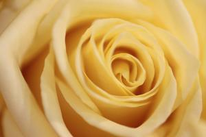Close Up of a Pale Yellow Rose by Joe Petersburger
