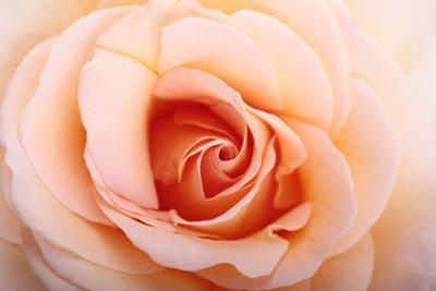 Close Up of a Peach or Flesh-Colored Rose by Joe Petersburger