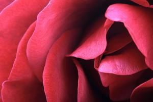 Close Up of a Red Rose by Joe Petersburger