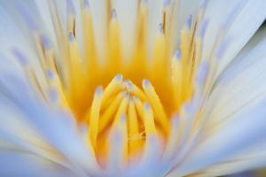 Close Up of a Water Lily Flower, Nymphaeaceae Family by Joe Petersburger