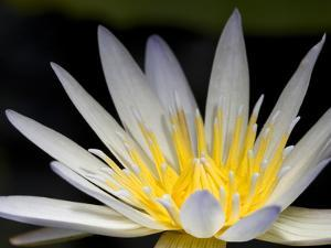 Close Up of a Water Lily Flower by Joe Petersburger
