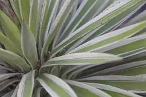 Close Up of the Spiny Leaves of a Yucca Plant, Yucca Species by Joe Petersburger