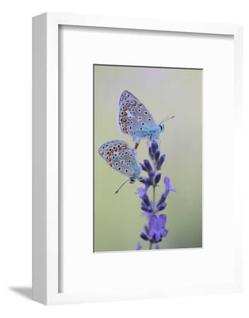 Common Blue Butterflies, Polyommatus Icarus, Mating on a Lavender Flower, Lavandula Angustifolia