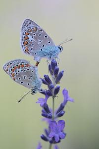 Common Blue Butterflies, Polyommatus Icarus, Mating on a Lavender Flower, Lavandula Angustifolia by Joe Petersburger
