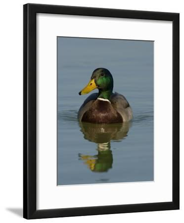 Male Mallard Duck, Anas Platyrhynchos, and Reflection in Calw Water