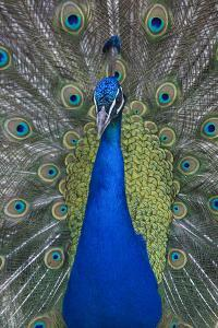 Male Peacock, Pavo Cristatus, Displaying Feathers in the Royal Gardens by Joe Petersburger