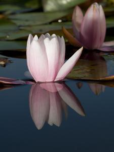 Pink Water Lily Flowers Starting to Open by Joe Petersburger