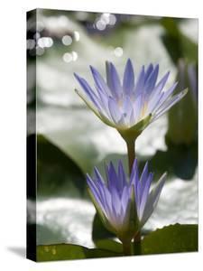 Tropical Water Lilies, Nymphaea Species, Growing in a Thermal Pond by Joe Petersburger