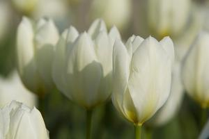 White Tulips in Pecs, the Cultural Capital of Europe in 2010 by Joe Petersburger