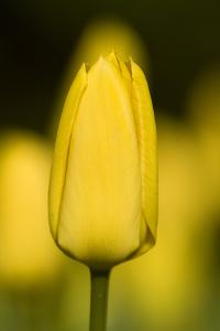 Yellow Tulip in Pecs, the Cultural Capital of Europe in 2010 by Joe Petersburger