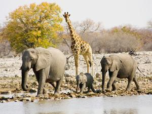 African Elephants and Giraffe at Watering Hole, Namibia by Joe Restuccia III
