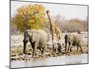 African Elephants and Giraffe at Watering Hole, Namibia by Joe Restuccia III