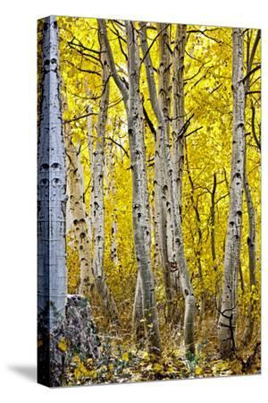 Aspen Trees Along Hwy 395/Conway Pass, California, USA