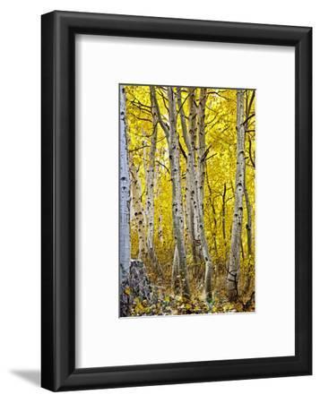 Aspen Trees Along Hwy 395/Conway Pass, California, USA