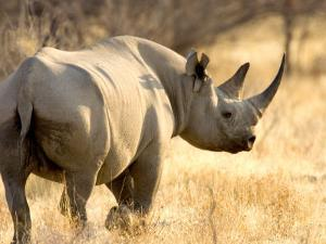 Black Rhinoceros at Halali Resort, Namibia by Joe Restuccia III