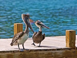 Brown Pelican by Joe Restuccia III
