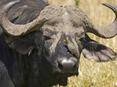 Cape Buffalo with a Yellow-Billed Oxpecker, Kenya by Joe Restuccia III